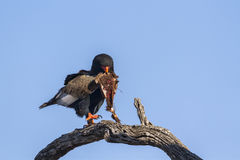 Bateleur Eagle in Kruger National park, South Africa. Specie family of Terathopius ecaudatus stock image