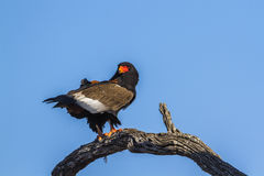 Bateleur Eagle in Kruger National park, South Africa. Specie family of Terathopius ecaudatus stock photo