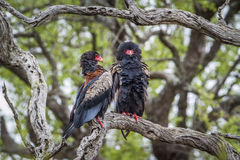 Bateleur Eagle in Kruger National park, South Africa. Specie Terathopius ecaudatus family of Accipitridae, Bateleur Eagle in Kruger National park, South Africa stock photo