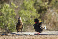 Bateleur Eagle in Kruger National park, South Africa. Specie Terathopius ecaudatus family of Accipitridae stock image