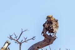 Bateleur Eagle in Kruger National park, South Africa. Specie Terathopius ecaudatus family of Accipitridae stock photo
