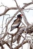 Bateleur Eagle - Okavango Delta - Moremi N.P. Royalty Free Stock Image