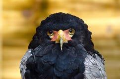 Bateleur Eagle Stock Photography