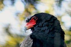 Bateleur Eagle, Pine Eagle, Terathopius ecaudatus. The red face Bateleur Eagle or Pine Eagle, Tarathopius ecaudatus. The Bateleur Eagle is native to sub-Saharan stock photography