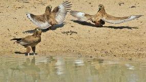 Bateleur Eagle skrzydła nad Afryka - Dziki Ptasi tło od Afryka - Zdjęcie Royalty Free