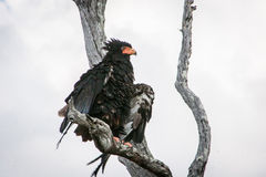Bateleur eagle stretching his wings in a tree. stock photos
