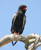 Bateleur Eagle (Terathopius ecaudatus) Stock Photography