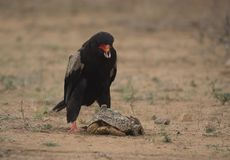 Bateleur Eagle, Terathopius ecaudatus. Eating the innards of tortoise, having cracked open the tortoise shell. Kruger National Park, South Africa stock photography