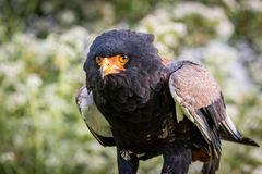 Bateleur Eagle (Terathopius ecaudatus. ) Mainly black and brown feather with a bright orange beak.  The eagle is a medium size eagle stock images