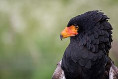 Bateleur Eagle (Terathopius ecaudatus. ) Mainly black and brown feather with a bright orange beak.  The eagle is a medium size eagle royalty free stock images
