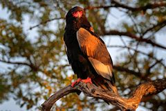 Bateleur Eagle, Terathopius ecaudatus, brown and black bird of prey in the nature habitat, sitting on the branch, Kenya, Africa. Wildlife scene from nature stock photography