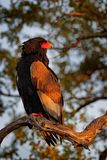 Bateleur Eagle, Terathopius ecaudatus, brown and black bird of prey in the nature habitat, sitting on the branch, Kenya, Africa. Wildlife scene from nature royalty free stock photos