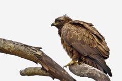 Bateleur Eagle (Terathopius ecaudatus). Juvenile Bateleur Eagle (Terathopius ecaudatus) in Kruger National Park, South Africa stock image