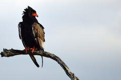 Bateleur Eagle (Terathopius ecaudatus). In Kruger National Park, South Africa.(Blouaap royalty free stock image