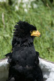 Bateleur Eagle. The Bateleur (Terathopius ecaudatus) is a medium-sized eagle in the family Accipitridae. It is endemic to Africa and small parts of Arabia. it is stock images