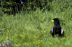 Bateleur Eagle Royalty Free Stock Images