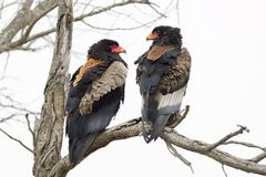Bateleur Eagle Terathopius ecaudatus pair. Perched on branch, Kruger National Park, South Africa stock photo
