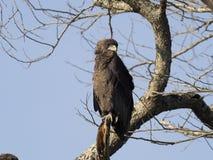 Bateleur eagle, Terathopius ecaudatus. Single young bird on branch, Uganda, August 2018 royalty free stock photo