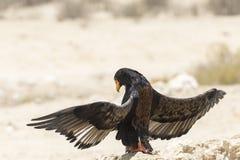 Bateleur eagle, Terathopius ecaudatus, sunning, Kgalagadi Transfrontier Park. Bateleur eagle, Terathopius ecaudatus, sunning or basking, Kgalagadi Transfrontier stock images