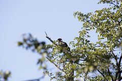 Bateleur Eagle, Terathopius ecaudatus, on the tree,, Moremi National Park, Botswana. One Bateleur Eagle, Terathopius ecaudatus, on the tree,, Moremi National stock image
