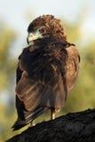 Bateleur  eagle. The bateleur Terathopius ecaudatus young bird sitting on the branch Stock Photos