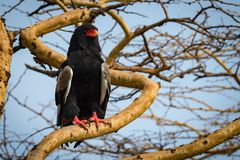 Bateleur eagle on thick branch staring ahead stock images