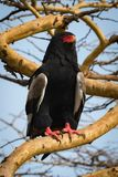 Bateleur eagle on thick branch staring out royalty free stock image
