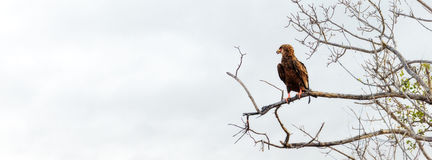 Bateleur Eagle in Tree - Horizontal Banner. Bateleur eagle on tree branch in South Africa. Horizontal banner with room for text stock photos