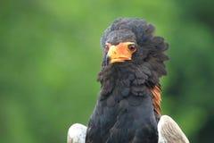 Bateleur eagle. The upper body of bateleur eagle royalty free stock image