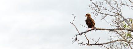 Bateleur Eagle w drzewie - Horyzontalny sztandar Zdjęcia Stock