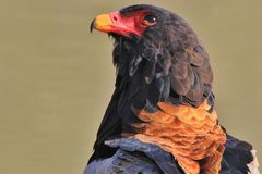 Bateleur Eagle - Wild Bird Background from Africa - Focus of the Colorful Royalty Free Stock Images