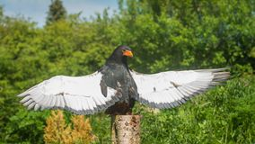 Bateleur Eagle with wings spread wide basking in the sun. Female Bateleur Eagle perched on a silver birch tree stump with wings spread wide and bathing in stock image
