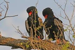 Bateleur eagles. Taken in the kruger national park south africa stock photography