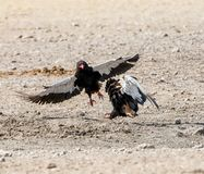 Bateleur Eagles. A Pair of Bateleur Eagles squabbling in Namibian savanna royalty free stock photography