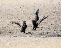 Bateleur Eagles. A Pair of Bateleur Eagles squabbling in Namibian savanna royalty free stock photo
