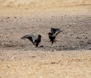 Bateleur Eagles. A Pair of Bateleur Eagles squabbling in Namibian savanna royalty free stock image