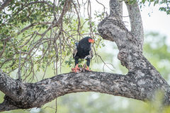 Bateleur eating in a tree. royalty free stock photos