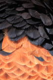 Bateleur feathers close up Royalty Free Stock Photos