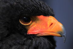 Bateleur head close up Royalty Free Stock Photography