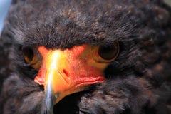 Bateleur head close up Stock Images