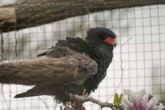 Bateleur. It is image of bateleur in zoo stock images