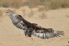 Baeleur drinking. Bateleur landing at waterhole in Kgalagadi with spread wings Royalty Free Stock Images