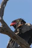 Bateleur portrait stock photo