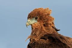 Bateleur portrait Stock Images