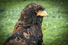 Bateleur portrait Royalty Free Stock Photos