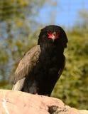 Bateleur Schlange-Adler auf Stange Stockfotos