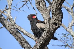 Bateleur. Sitting on a branch and was very nervous for the vehicle and camera. It flew off immediately after this photo was taken stock images