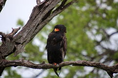 Bateleur. Sitting in a tree stock photo