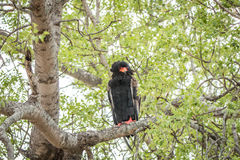 Bateleur sitting in a tree. Stock Image