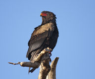 Bateleur - South African Eagle Royalty Free Stock Image